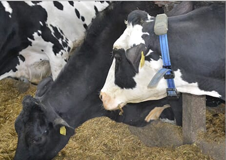 dairy cow tracker collar Writtle College