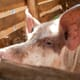 Taming heat stress – climate change adaptation of pig and dairy sector in Uganda thumbnail image