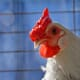 Enterococcus co-infection makes colibacillosis deadlier in poultry thumbnail image
