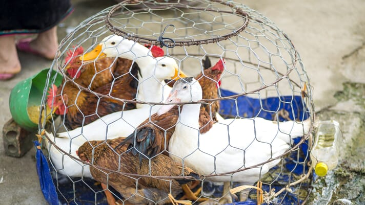 South Korea bans free-range poultry through February 2021 on bird flu concerns thumbnail image