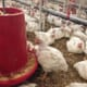 Naturally occurring compound could address poultry welfare and production issues thumbnail image