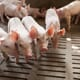 China to offer financial support to sow farms to rebuild pig herd thumbnail image