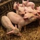 Pig outlook: lean hog futures prices remain in the stratosphere thumbnail image