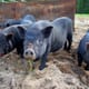 Swine fever detected in Vietnam and China reports first outbreak in Guangxi region thumbnail image