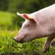 How to achieve long-term reduction in antimicrobial use in your pig herd thumbnail image