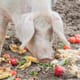 Small-scale pig keeping: achieving nutritional balance with alternative feed thumbnail image