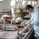 Coping with compassion fatigue in the swine industry thumbnail image