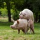 Antioxidants protect hot hogs from sperm DNA damage thumbnail image