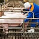 New research shows impact of pandemic swine influenza A virus on reproductive performance of sows thumbnail image