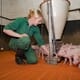 Just how important is the pig microbiome for productivity? thumbnail image