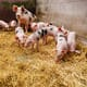 Carrefour announces pig welfare overhaul in Brazil thumbnail image