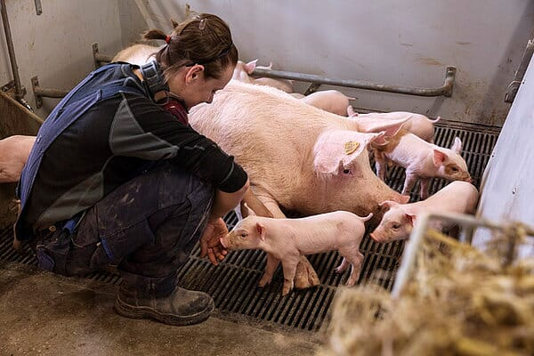 Female barn worker in contact with suckling piglet in free farrowing pen. Success needs the sow, piglets, staff and housing system to work together. (Photo © SEGES Danish Pig Research Centre)