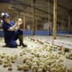 Placement year brought Niamh Molloy to successful poultry career thumbnail image
