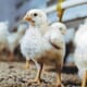 New report finds that UK supermarket sector is lagging on chicken welfare thumbnail image