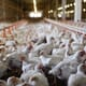 Weekly poultry digest: downstream impacts of bird flu outbreaks start to appear thumbnail image