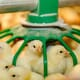 The long-term benefits of short-chain poultry farming thumbnail image