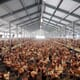 Weekly poultry digest: bird flu culls roil global poultry industry thumbnail image