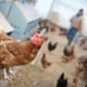 British poultry industry has reduced antibiotics use by over 75 percent in the last seven years thumbnail image