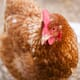Your questions answered: introducing new hens, diet changes and impacted crops thumbnail image