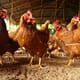 The Chicken Whisperer: tackling ammonia levels in backyard flocks thumbnail image