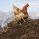 The Chicken Whisperer: how to start composting chicken manure thumbnail image