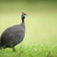 Why African farmers are waking up to the huge potential of guinea fowl thumbnail image