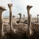 Whatever happened to the ostrich farms of Zimbabwe? thumbnail image