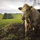 Are we doing enough for the welfare of cows with mastitis? thumbnail image