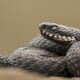 RCVS Knowledge: Should dogs bitten by European adders be given antivenom? thumbnail image
