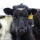 Reviewing bovine TB control in Devon thumbnail image