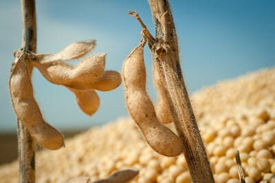 Close-up image of soybeans