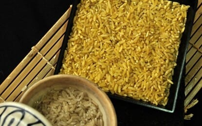The Department of Agriculture's Bureau of Plant Industry (BPI) has issued a go signal for commercial propagation of golden rice after an extensive study by different government agencies.