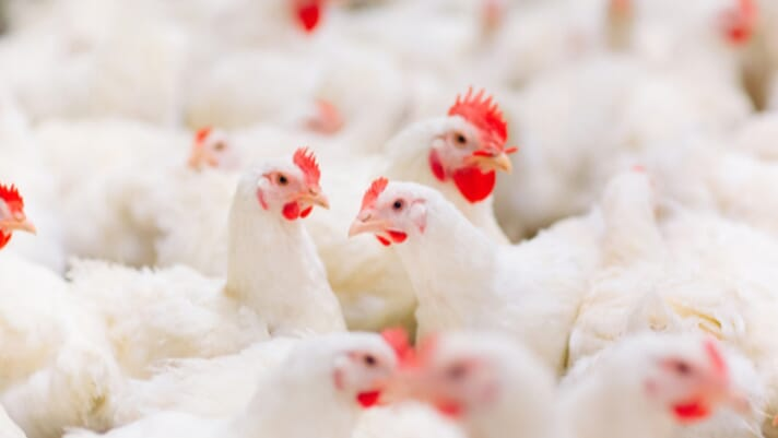 Rabobank's Poultry Q4 Report: The challenge of balancing volatile markets thumbnail image