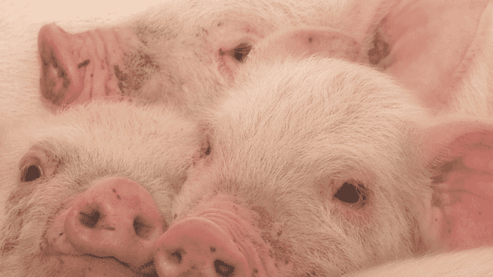 Bordetella bronchiseptica and respiratory disease in swine: an overview thumbnail image