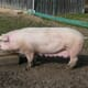 900 Danish breeding pigs flown into China to replenish decimated herd thumbnail image