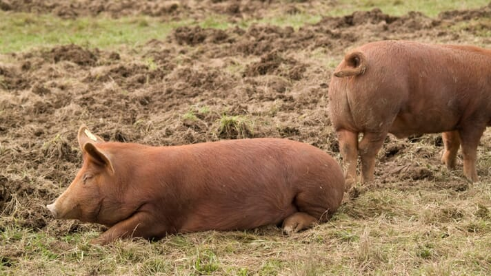 Small-scale pig keeping: selecting pigs for breeding thumbnail image