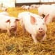 Iowa research team wins grant to study growth, genetics and nutrition in pigs thumbnail image