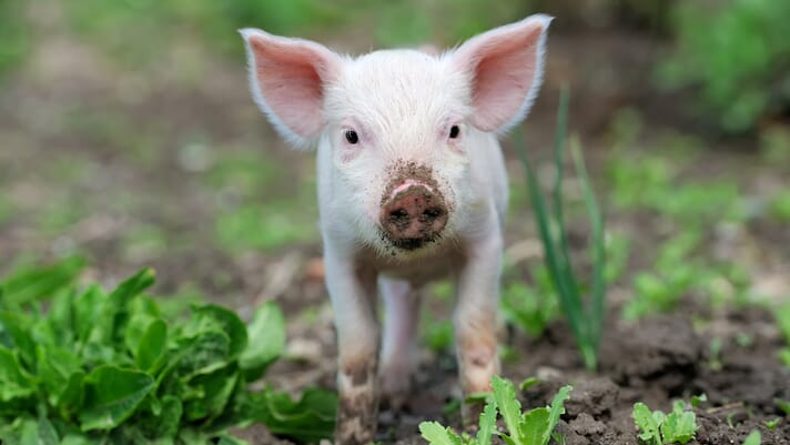 European project to help limit antibiotic use in pig production thumbnail image