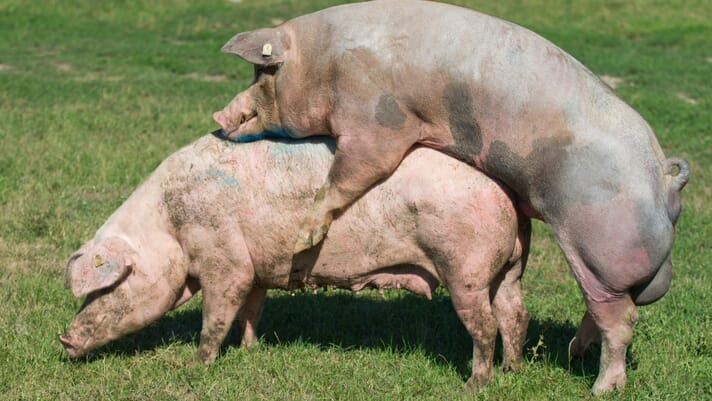 Small-scale pig keeping: why inbreeding matters thumbnail image