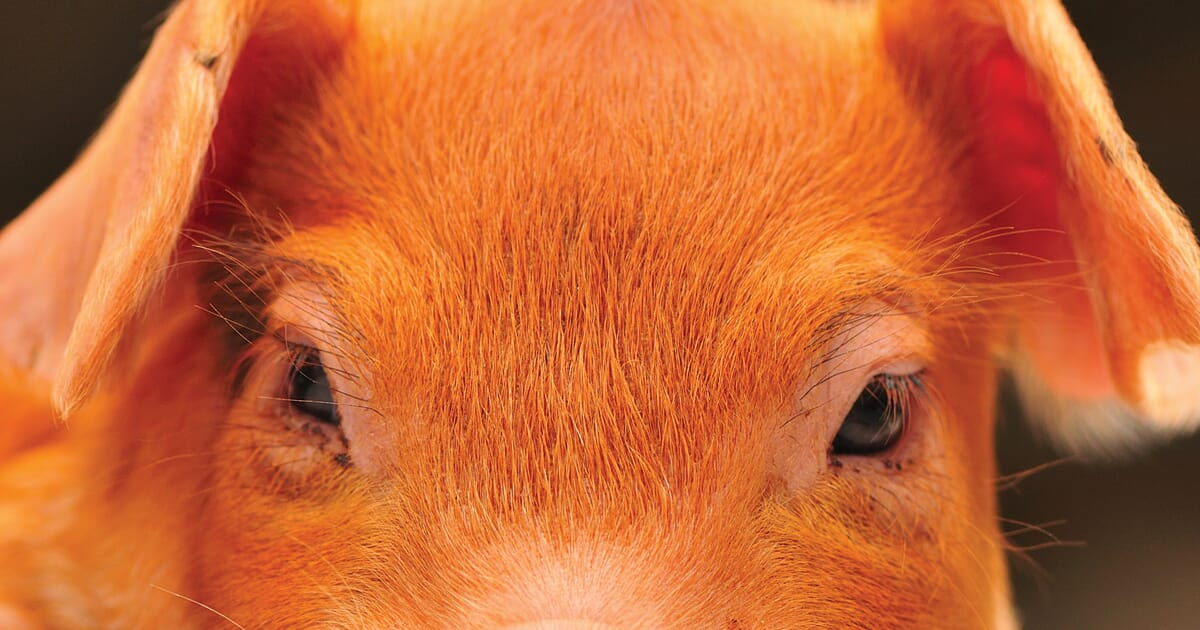 Piglet Nutrition Notes: an insight into optimal piglet nutrition | The Pig Site