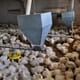 Secretary Purdue urged to curb use of extreme animal depopulation measures amid meat plant closures thumbnail image