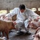 African swine fever: conquering Asia, moving in South Africa, smouldering in EU thumbnail image