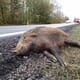 Manitoba to report all wild pig sightings in fight to prevent ASF thumbnail image