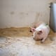 China tells pork producers to secure swine fever-free certificates thumbnail image