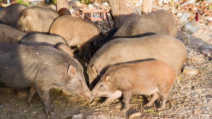 Swine fever wipes out 20 percent of Vietnam hog herd thumbnail image