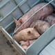 China encourages companies to raise pigs overseas to plug domestic pork shortage thumbnail image