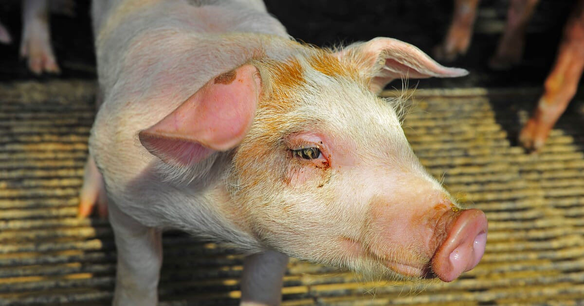 African swine fever in China: 87 cases and counting | The Pig Site