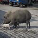 Assam prepares for mass cull of domestic pigs as swine fever death toll hits 15,000 thumbnail image