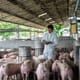 North Sumatra says it may cull all pigs if Classical swine fever is not controlled thumbnail image