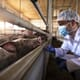 Bulgaria announces plans to slaughter 24,500 pigs in swine fever outbreak thumbnail image